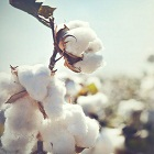Cotton or organic cotton the fight for sustainability