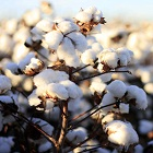 Gauging sustainable expanse of cotton