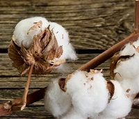 Global demand, rising prices augur well for Indian cotton this year