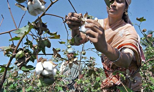 Indias cotton production to grow 7.25 per cent this year 001