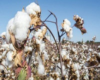 Indias cotton production to grow 7.25 per cent this year 002
