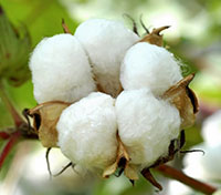 Trade war, overproduction to impact cotton prices in 2019-20